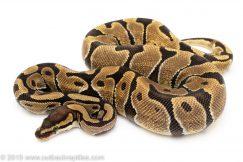 Enchi ball python for sale