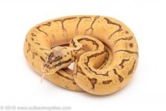 Enchi Lemon Blast poss yellowbelly ball python for sale