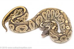 Ghost Black pastel ball python for sale