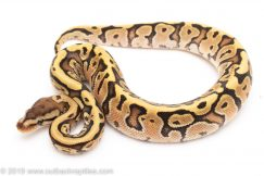 Hidden Gene Woma Fire Yellowbelly ball python for sale