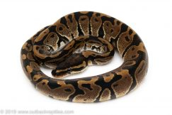 Het Black Axanthic ball python for sale