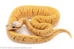 Killer Blast Yellowbelly ball python for sale
