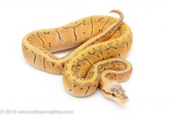 Killer Blast possible Enchi Yellowbelly ball python for sale