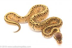Lemon Blast het Pied ball python for sale
