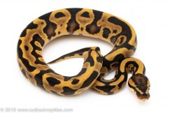 Leopard Yellowbelly ball python for sale