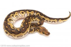 Mojave Clown ball python for sale