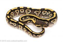 Mojave het clown ball python for sale