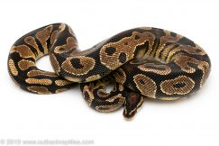 orange dream yellowbelly ball python for sale