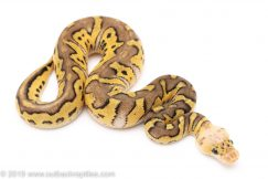 Pastel Mojave Clown ball python for sale