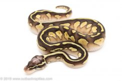Pastel Lesser Red Stripe ball python for sale
