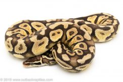Pastel yellowbelly ball python for sale