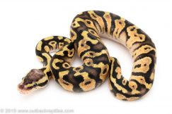 Pastel het Clown ball python for sale
