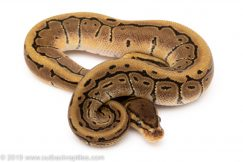 Pinstripe het Pied ball python for sale