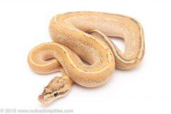Puma ball python for sale