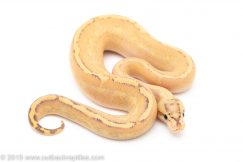 Puma Fire ball python for sale