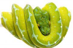 sorong green tree python for sale