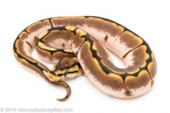 sugar spider ball python for sale