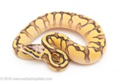 Super Pastel Enchi Yellowbelly ball python for sale