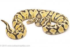 Ghost Super Pastel ball python for sale