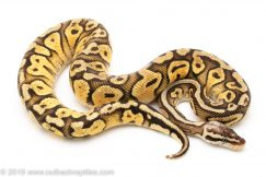 Super Pastel Yellowbelly or Gravel ball python for sale