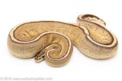 Super STripe ball python for sale