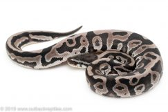Axanthic Leopard ball python for sale