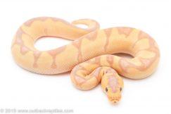 Banana Enchi Clown ball python for sale