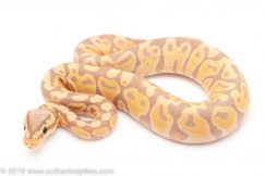 Banana ball pythons for sale