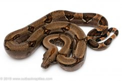 Costa Rican Redtail Boa constrictor for sale