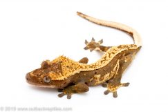 Crested Gecko 1