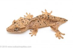 Crested Gecko 3