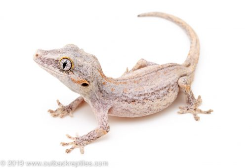 Gargoyle Gecko for sale