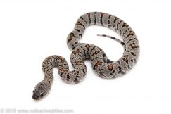 Gray Banded Kingsnake for sale
