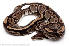 Imposter Pied ball python for sale