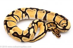 Orange Dream Vanilla ball python for sale