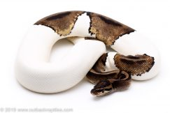 Adult Pied ball python for sale