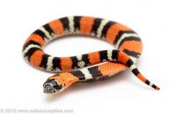 Tricolor Hognose Snake