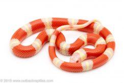 albino nelson's milksnake