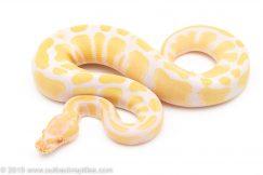 Albino Het. Pied ball python for sale