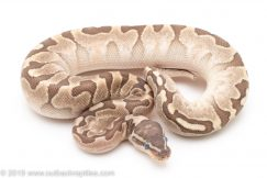 Bamboo Enchi ball python for sale