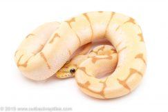 Banana Enchi Spider ball python for sale