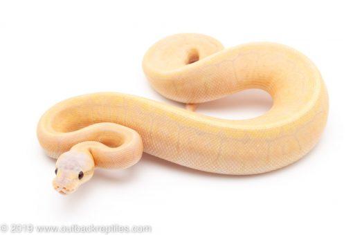 Banana Lemon Blast ball python for sale
