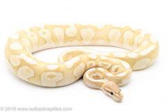 Banana Lesser Fire ball python for sale