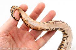 Black Pastel poss het Pied ball python for sale
