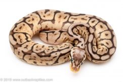 Black Widow ball python for sale