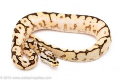 Bumblebee Yellowbelly ball python for sale