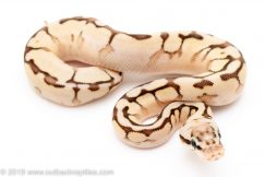Nuclear SPider ball python for sale