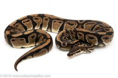DH albino pied ball python for sale