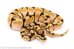 Enchi Orange Dream Spider ball python for sale
