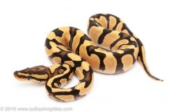enchi orange dream yellowbelly ball python for sale